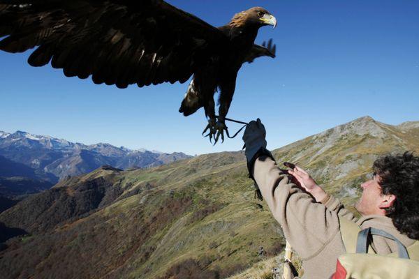 Un aigle royal dans les Pyrénées