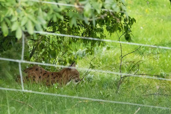 Jean-Philippe Chavey sort de la maison pour photographier le lynx sous un autre angle. La photo est moins belle avec cette clôture mais l'émotion est encore plus forte pour le photographe.