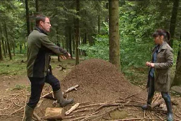Une fourmilière de taille impressionnante. Elles sont nombreuses en Limousin, mais très souvent, fondues dans le paysage, on ne les remarque pas...