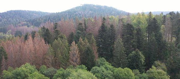 Il suffit de lever les yeux : de nombreuses parcelles de la forêt vosgienne sont impactées par la sécheresse et le scolyte.