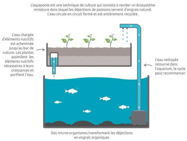 L'aquaponie est une technique agricole qui consiste à mêler pisciculture et agriculture hors-sol