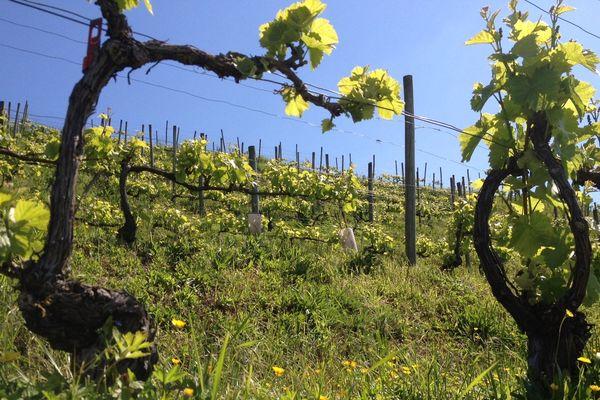 Vignes - Hautvillers