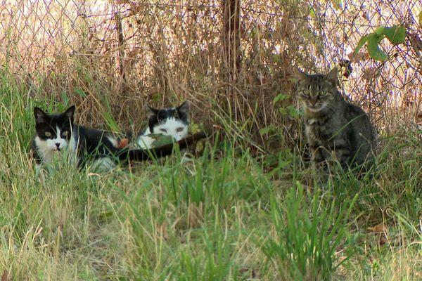 Les chats recueillis sont stérilisés, dans l'attente de trouver une famille d'adoption