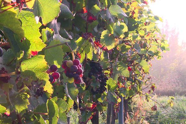 Plus de la moitié des raisins ont été touchés par le mildiou, après le gel en avril.