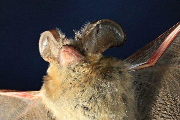 La commune de Septèmes-les-Vallons (Bouches-du-Rhône) organise un comptage de ses chauves-souris, une espèce protégée.