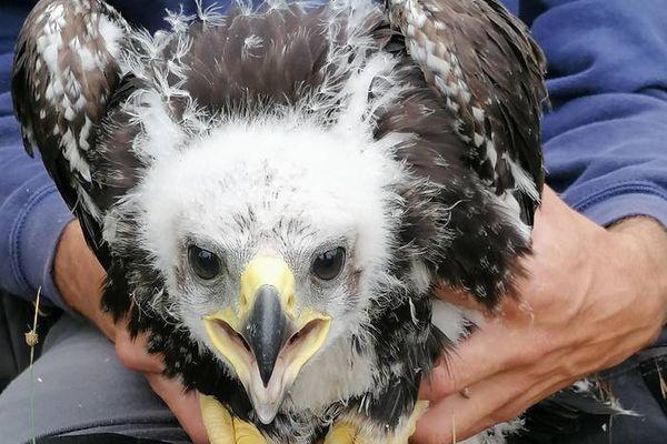 Cévennes - Le petit aigle royal est né le 6 mai dernier dans un nid de la Combe Chaude, inoccupé depuis 1957 - printemps 2021.