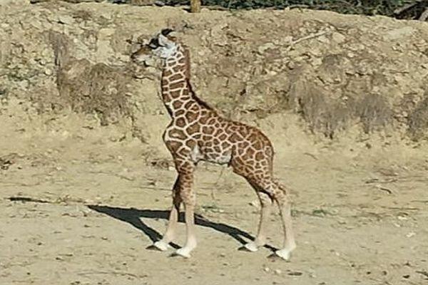 Sigean (Aude) - le girafon, nouvelle vedette de la Réserve africaine - octobre 2013.