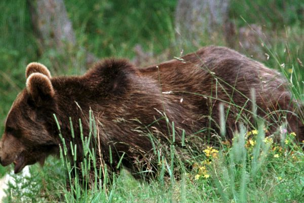 image d'illustration Y aura-t-il des affarouchements d'ours dans les Pyrénées dès le mois d'avril?