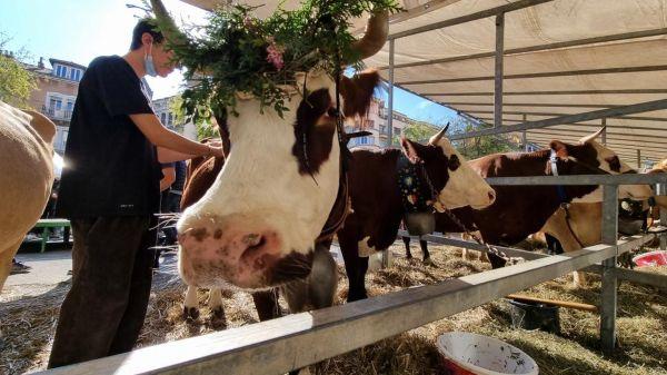 Les vaches se reposent après le défilé, place de Metz.