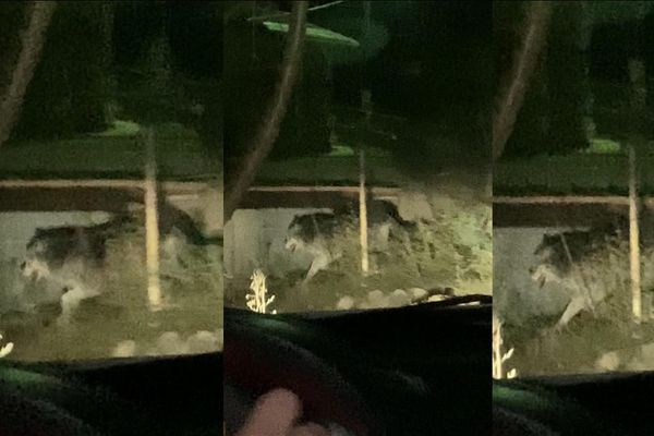 Ce loup, un mâle de race Canada noir a été vu samedi 21 novembre près de Tende dans les Alpes-Maritimes. (Il s'agit d'une capture d'images depuis une vidéo)