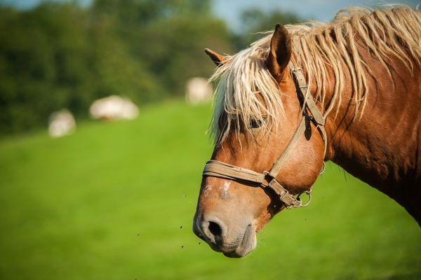 Il est beau notre cheval de trait comtois !