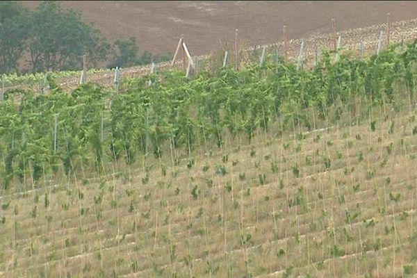 Les vignes sont plantées à Terramesnil près d'Amiens, sur une terre en pente difficile à cultiver.