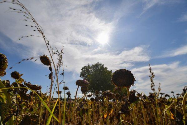 Un champ de tournesol brulé pendant une période de sécheresse en août 2019.