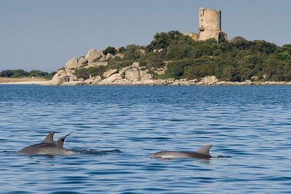 Grands dauphins à quelques mètres du bord, baie de Figari, Réserve Naturelle des Bouches de Bonifacio
