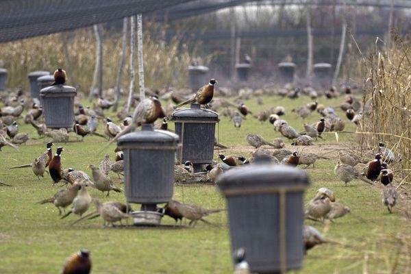Les éleveurs de petits gibiers destinés à être chassés sont très inquiets pour l'avenir. Comme ici dans un élevage de Sully sur Loire dans le Loiret où des milliers de volatiles sont coincés.