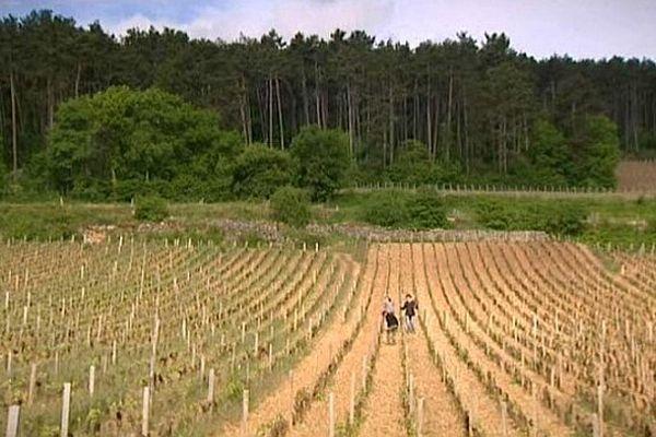 La Côte d'Or compte 1 247 climats sur un mince ruban de terre qui va de Dijon à Santenay.