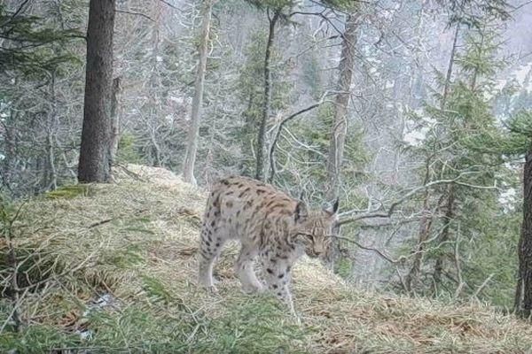 Deux lynx passent devant le piège photographique déposé par le traileur Xavier Thévenard dans le massif du Jura.