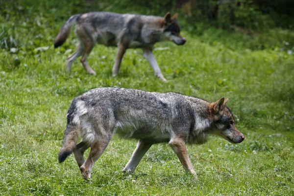 Les attaques de loups ont tué 90 brebis en Aveyron entre janvier et août 2018 (photo d'illustration - parc animalier Alpha).
