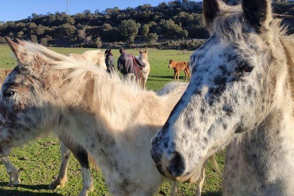 """Saint-Martin-de-Valgalgues - Les chevaux vont être recueillis par l'association """"Cheval"""" - 04.02.20"""