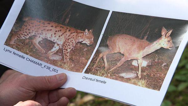 Le lynx est presque aussi gros que sa proie principale