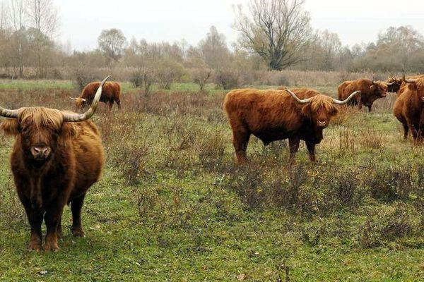 Le highland Cattle, la vache écossaise dans la Petite Camargue Alsacienne