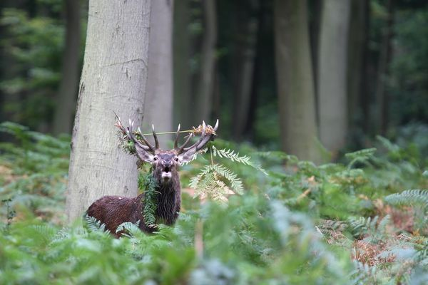 Les cerfs ont été comptés dans le Cantal et en Lozère.