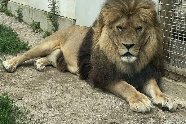 V.O.S.T. : Jon le lion miraculé de Saint-Martin-la-Plaine