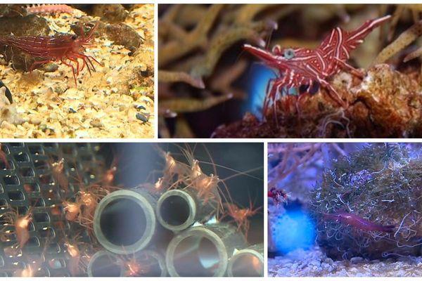 Quand elles auront grandi, les bébés crevettes ressembleront à ça.