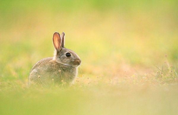 Un lapin de garenne près de la prairie de Caen