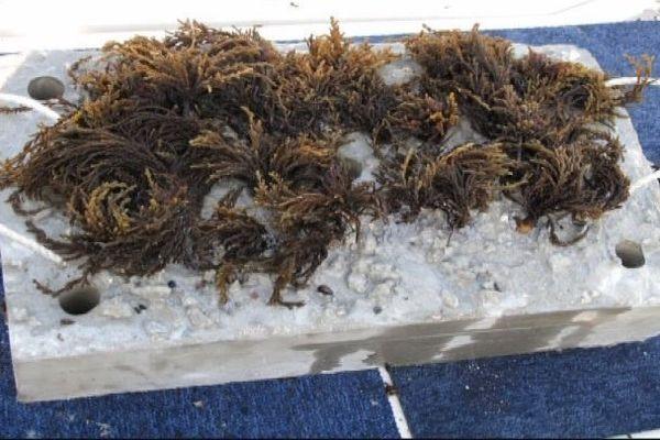 """""""Cystoseira amentacea"""", une algue qui pourrait reconstituer les milieux aquatiques abimés par les constructions"""