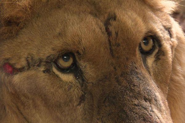 Jon, placé début juin au refuge de Tonga Terre d'Accueil à Saint-Martin-la-Plaine dans la Loire, a retrouvé ses quatre compagnes. Quatre lionnes saisies dans le même cirque, pour mauvais traitements. C'est inédit.