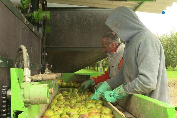 Tri de pommes à cidre chez un producteur à Gaël (Ille-et-Vilaine).