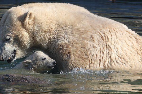 Nanuq et sa mère dans le bassin des ours polaires du zoo de Mulhouse