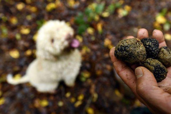 Cette année le cours de la truffe pourrait atteindre un montant record - 30 décembre 2019