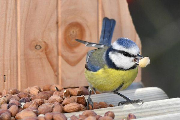 Une mésange à Lanester (56). Cet oiseau, symbolique de nos campagnes, fait partie des espèces menacées par l'intensification de l'agriculture et notamment l'usage de pesticides.