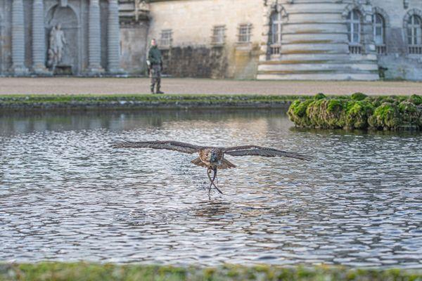 La buse à queue rousse pèse 1,5 kilos et ses ailes mesurent 1,40 mètres d'envergure
