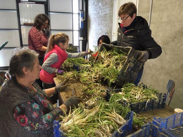 La récolte du pissenlit dans le Sundgau