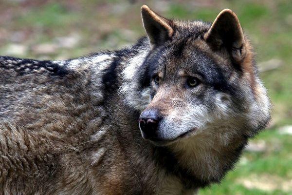 Un loup mâle de lignée italo-alpine a été identifié entre le Tarn et l'Hérault.