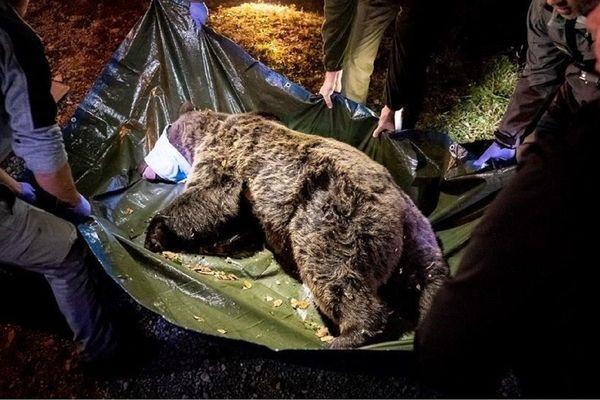 Les 4 et 5 octobre, deux ourses ont été réintroduites en Béarn, par hélicoptère dans des lieux tenus secrets. Les éleveurs des Pyrénées, s'étaient fortement mobilisés contre leurs venues. Les anti-ours se sont relayés jour et nuit pour empêcher sans sucés leur arrivée. Depuis, plusieurs attaques sont imputées à l'une des deux ourses.