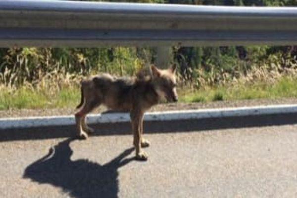 Un jeune loup a été aperçu plusieurs fois cette semaine dans les rues de Valberg, une station de ski des Alpes-Maritimes.