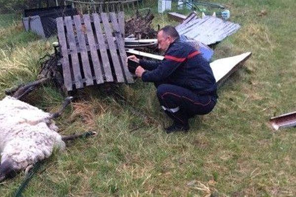 >Une brebis tuée par un loup à Belvédère, le 23 mars 2019