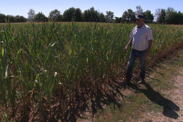 Didier Loiseau, céréalier dans le Perche, constate que certains brins de maïs n'ont même pas d'épi en raison de la sécheresse