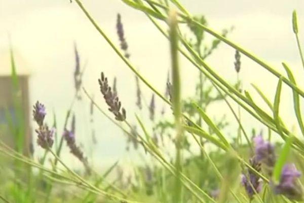 Les herbes sont cultivées de façon tout à fait naturelle.
