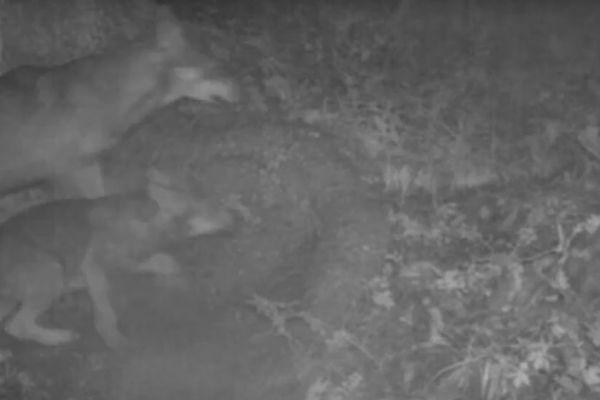 Au total, ce sont 8 canidés qui ont été filmés, un mâle adulte et sept louveteaux.