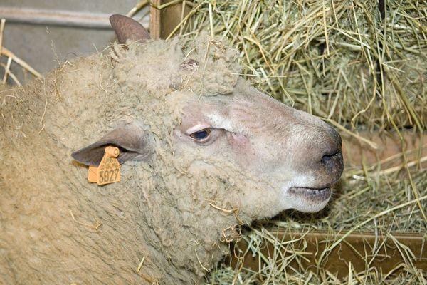 Mouton de race Avranchin