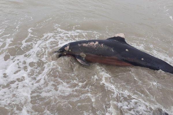 La dépouille du dauphin a été découverte par des promeneurs au Hourdel en baie de Somme.