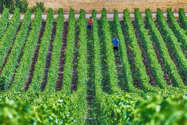 Les vignes de champagne (illustration)