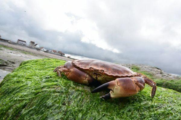 La fête du crabe, une tradition à Audresselles, petit village de pêcheurs de la Côte d'opale