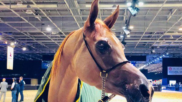 Un des chevaux du championnat du monde du cheval arabe