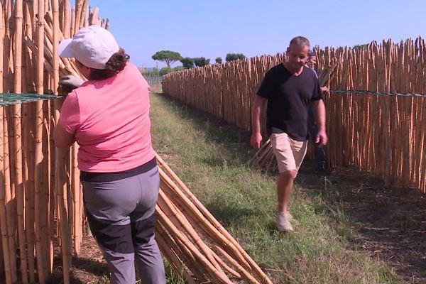 Un champ de cannes de Provence qui permettent la fabrication de anches pour instruments à vent à Cogolin